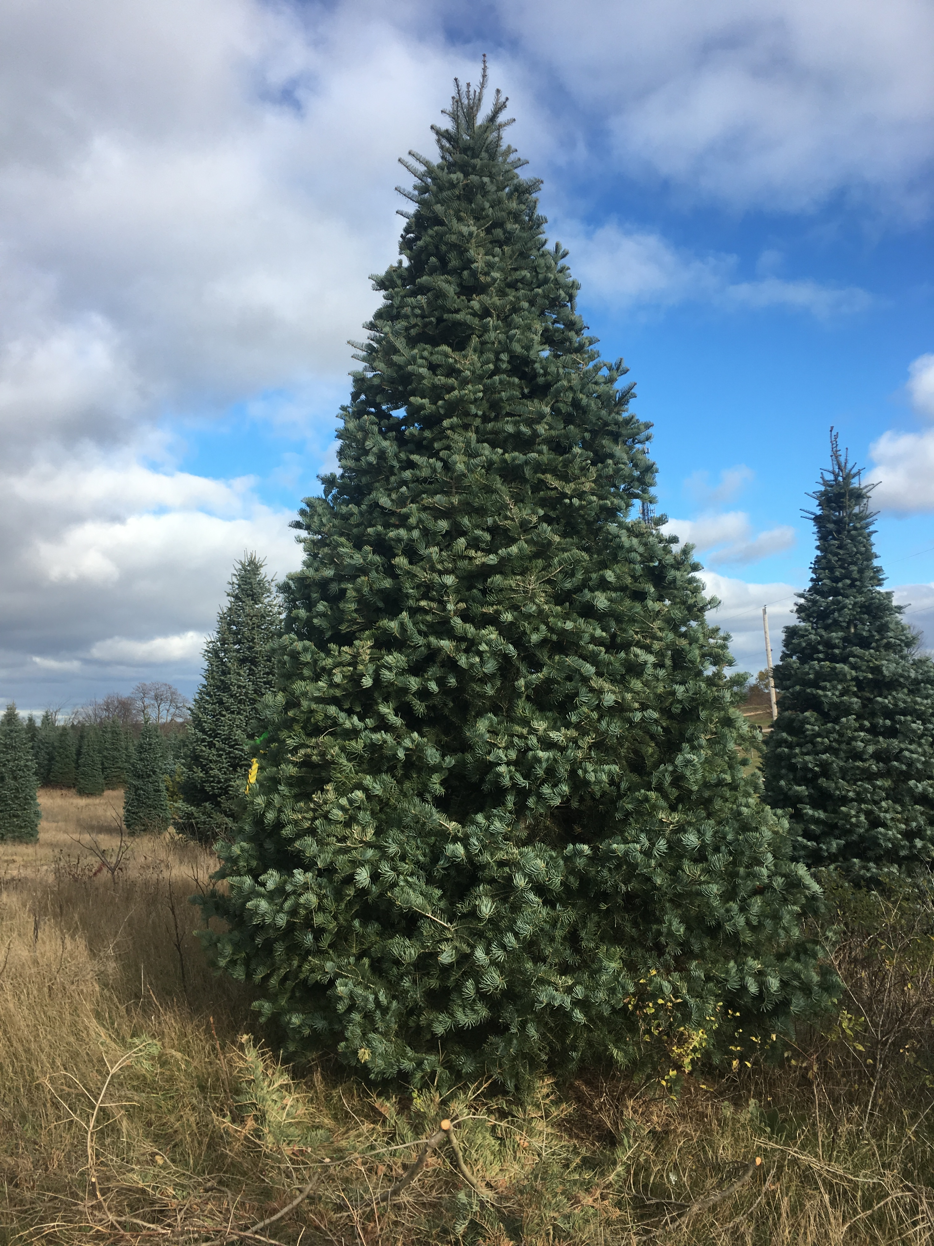 Tony Sandone of Dallas-based Sandone Christmas Trees travels to Michigan to hand select the HP Village Christmas tree.